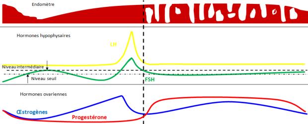 endometre-ovulation-hormones