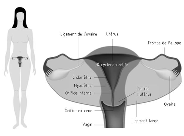 anatomie-genitale-face