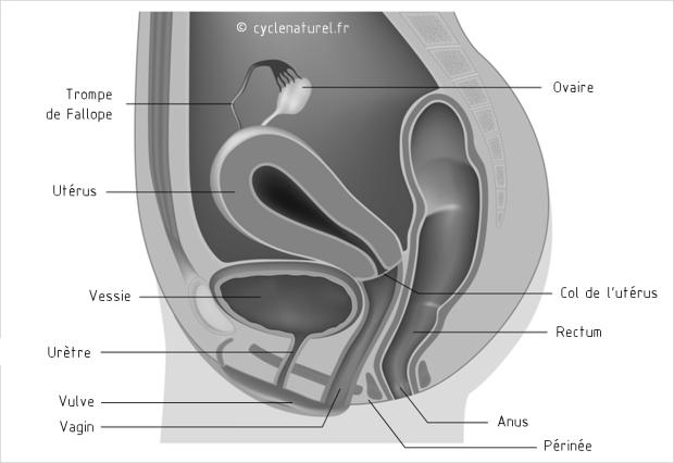 anatomie-genitale-profil