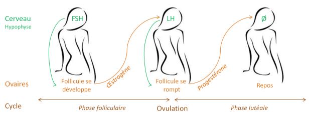 cycle-FSH-LH